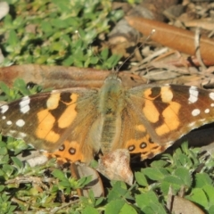 Vanessa kershawi (Australian Painted Lady) at Conder, ACT - 11 Sep 2021 by michaelb