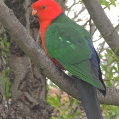 Alisterus scapularis (Australian King-Parrot) at Conder, ACT - 12 Sep 2021 by michaelb