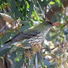 Oriolus sagittatus (Olive-backed Oriole) at Majura, ACT - 21 Sep 2021 by jbromilow50