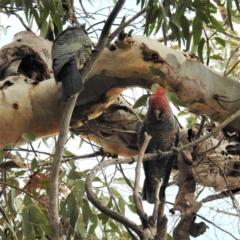 Callocephalon fimbriatum (Gang-gang Cockatoo) at Kambah, ACT - 23 Sep 2021 by HelenCross