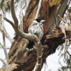 Cracticus torquatus (Grey Butcherbird) at Kambah, ACT - 23 Sep 2021 by HelenCross