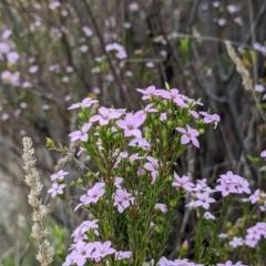 Coleonema pulchellum (Diosma) at Kambah, ACT - 23 Sep 2021 by HelenCross