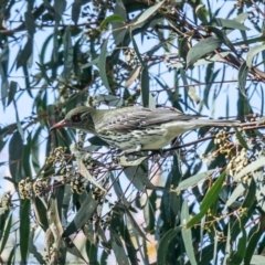 Oriolus sagittatus (Olive-backed Oriole) at Holt, ACT - 21 Sep 2021 by Roger