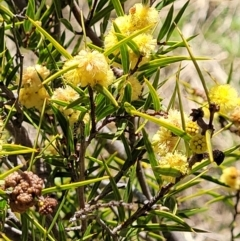 Acacia siculiformis (Dagger Wattle) at Coree, ACT - 23 Sep 2021 by tpreston