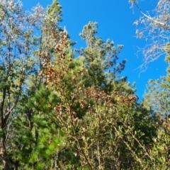 Bursaria spinosa subsp. lasiophylla (Australian Blackthorn) at Jerrabomberra, ACT - 23 Sep 2021 by Mike