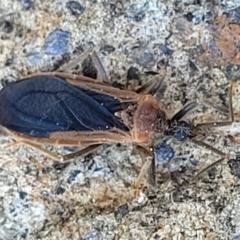 Aradidae sp. (family) (Flat bug) at Coree, ACT - 23 Sep 2021 by tpreston