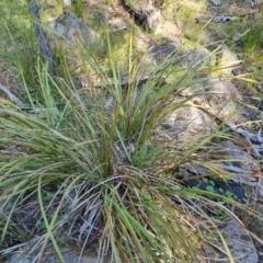 Lomandra longifolia (Spiny-headed Mat-rush, Honey Reed) at Jerrabomberra, ACT - 23 Sep 2021 by Mike