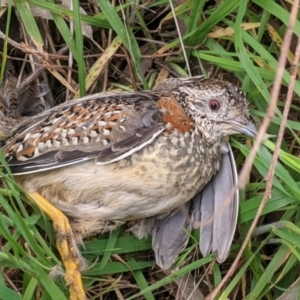 Turnix varius (Painted Buttonquail) at Hamilton Valley, NSW by Darcy
