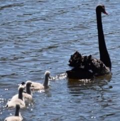 Cygnus atratus (Black Swan) at Dunlop, ACT - 23 Sep 2021 by Sammyj87
