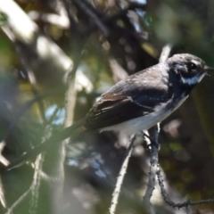 Rhipidura albiscapa (Grey Fantail) at Dunlop, ACT - 23 Sep 2021 by Sammyj87
