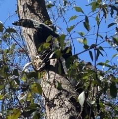 Varanus sp. (genus) (TBC) at Bundanoon, NSW - 23 Sep 2021 by JanetMW