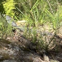 Varanus varius at Bundanoon, NSW - 23 Sep 2021