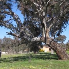 Eucalyptus blakelyi (Blakely's Red Gum) at Fraser, ACT - 23 Sep 2021 by pinnaCLE