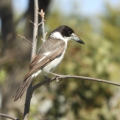 Cracticus torquatus (Grey Butcherbird) at Murrumbateman, NSW - 23 Sep 2021 by SimoneC