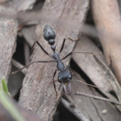 Myrmecia pyriformis (A Bull ant) at Bruce, ACT - 23 Sep 2021 by AlisonMilton