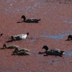 Chenonetta jubata (Australian Wood Duck) at Bruce, ACT - 23 Sep 2021 by pinnaCLE