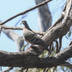 Phaps chalcoptera (Common Bronzewing) at Bruce, ACT - 23 Sep 2021 by AlisonMilton