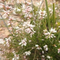 Lissanthe strigosa subsp. subulata (Peach Heath) at Carwoola, NSW - 23 Sep 2021 by Liam.m
