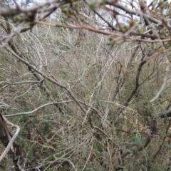 Leptospermum myrtifolium (TBC) at Carwoola, NSW - 23 Sep 2021 by Liam.m