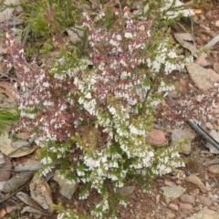 Leucopogon fletcheri subsp. brevisepalus (Twin Flower Beard-Heath) at Carwoola, NSW - 23 Sep 2021 by Liam.m