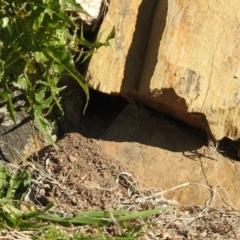 Pardalotus punctatus (Spotted Pardalote) at Carwoola, NSW - 23 Sep 2021 by Liam.m