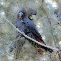 Calyptorhynchus lathami (Glossy Black-Cockatoo) at Penrose, NSW - 22 Sep 2021 by Aussiegall