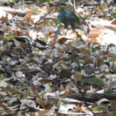 Sericornis citreogularis (Yellow-throated Scrubwren) at Maleny, QLD - 19 Dec 2019 by Liam.m