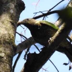Ailuroedus crassirostris (Green Catbird) at Maleny, QLD by Liam.m