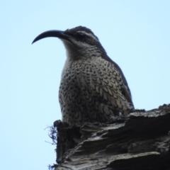 Ptiloris paradiseus (Paradise Riflebird) at O'Reilly, QLD - 3 Jan 2020 by Liam.m