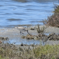 Limicola falcinellus (Broad-billed Sandpiper) at Manly, QLD - 26 Jan 2019 by Liam.m