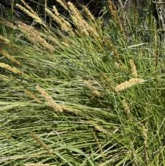 Carex appressa (Tall Sedge) at Nicholls, ACT - 23 Sep 2021 by JaneR