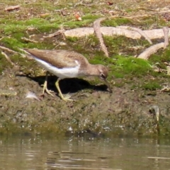 Actitis hypoleucos (Common Sandpiper) at Greenway, ACT - 23 Sep 2021 by RodDeb