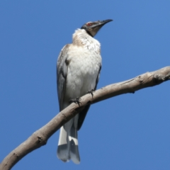 Philemon corniculatus (Noisy Friarbird) at Majura, ACT - 21 Sep 2021 by jbromilow50