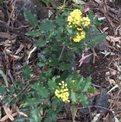 Berberis aquifolium (Oregon grape) at Garran, ACT - 21 Sep 2021 by Ned_Johnston