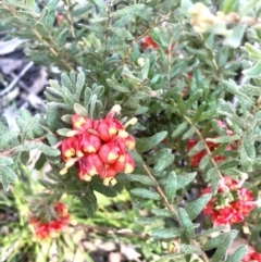 Grevillea alpina (Mountain Grevillea / Cat's Claws Grevillea) at Bruce, ACT - 23 Sep 2021 by goyenjudy
