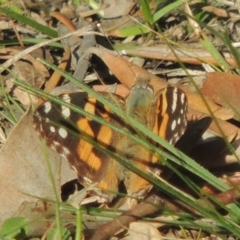 Vanessa kershawi (Australian Painted Lady) at Conder, ACT - 17 Sep 2021 by michaelb