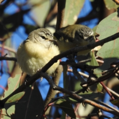 Acanthiza chrysorrhoa (Yellow-rumped Thornbill) at Stromlo, ACT - 23 Sep 2021 by HelenCross