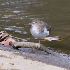 Actitis hypoleucos (Common Sandpiper) at Monash, ACT - 19 Sep 2021 by RodDeb
