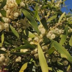 Acacia melanoxylon (Blackwood) at Conder, ACT - 17 Sep 2021 by michaelb