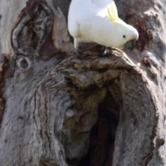 Cacatua galerita (Sulphur-crested Cockatoo) at Holt, ACT - 24 Sep 2021 by Sammyj87