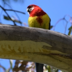 Platycercus eximius (Eastern Rosella) at Holt, ACT - 24 Sep 2021 by Sammyj87