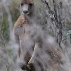 Macropus giganteus (Eastern Grey Kangaroo) at Holt, ACT - 24 Sep 2021 by Sammyj87