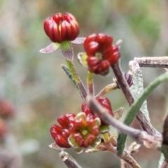 Dodonaea viscosa subsp. angustissima (Hop Bush) at Latham, ACT - 24 Sep 2021 by tpreston