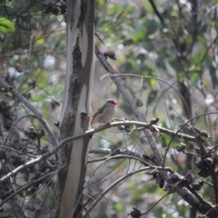 Neochmia temporalis (Red-browed Finch) at O'Connor, ACT - 24 Sep 2021 by KazzaC