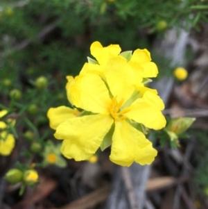 Hibbertia calycina at O'Connor, ACT - 24 Sep 2021
