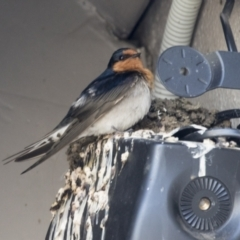 Hirundo neoxena (Welcome Swallow) at Belconnen, ACT - 24 Sep 2021 by AlisonMilton