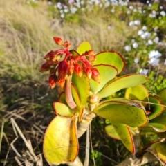 Cotyledon orbiculata (Cotyledon) at Isaacs, ACT - 24 Sep 2021 by Mike