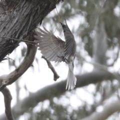 Philemon corniculatus (Noisy Friarbird) at Bruce, ACT - 23 Sep 2021 by AlisonMilton