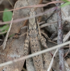 Coryphistes ruricola (Bark-mimicking Grasshopper) at Gundaroo, NSW - 24 Sep 2021 by MPennay