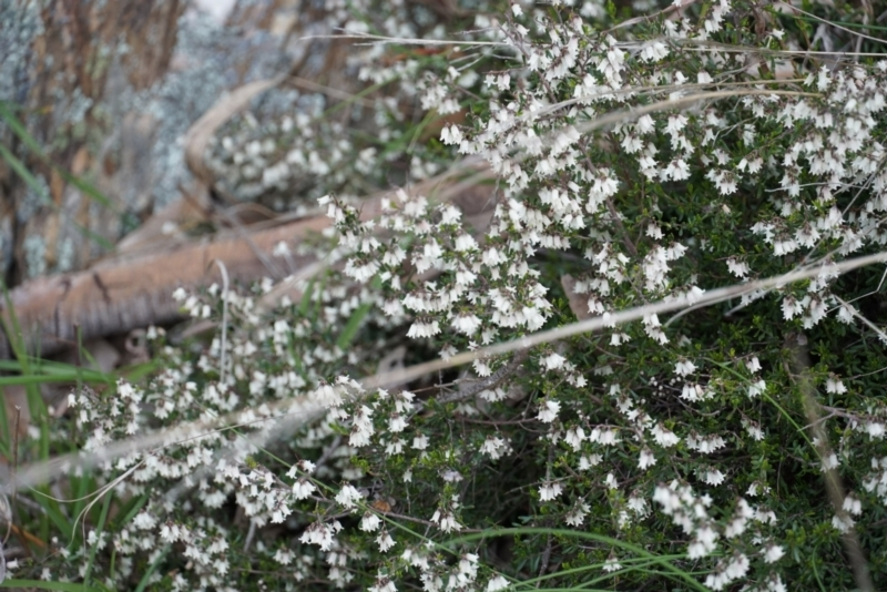 Cryptandra amara at Gundaroo, NSW - 24 Sep 2021